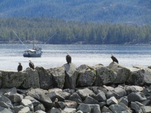 Linda Lichty took this photo of eagles at the Mountain Point boat launch, may 3. She says more than 40 eagles were there feeding on a carcass on the rocks.